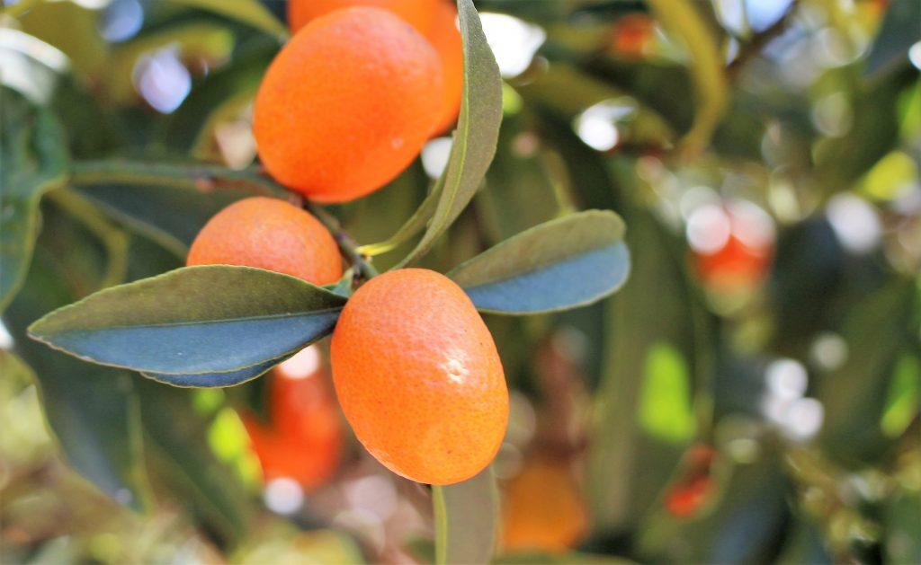 ส้มคัมควอต
