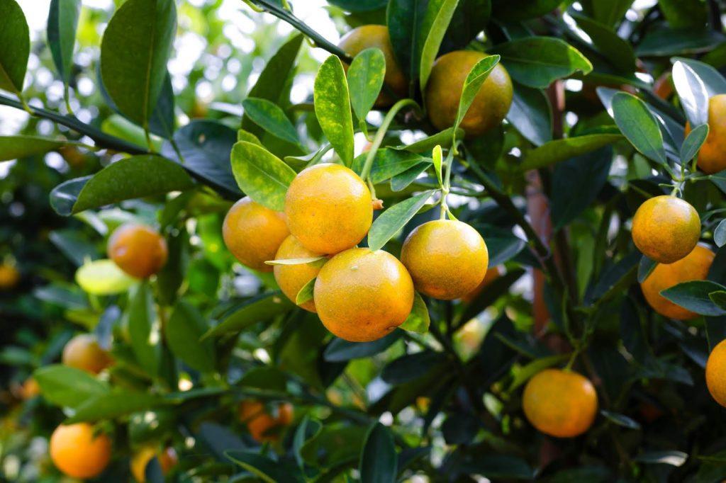 ส้มจี๊ด